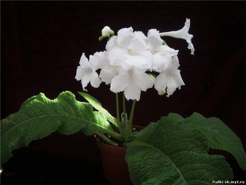 Стрептокарпус белый