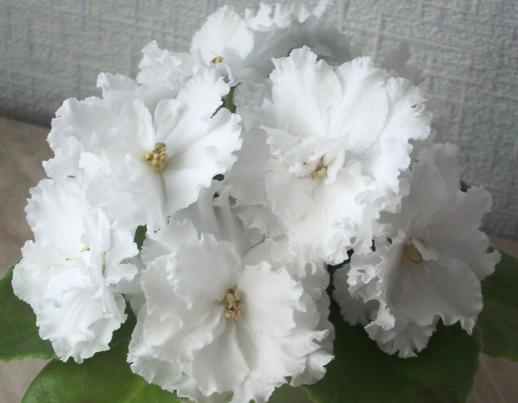 Фиалки с белыми цветами фото и названия